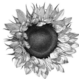cropped-sunflower.jpg